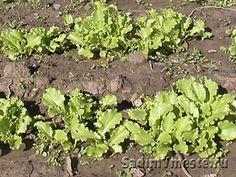 Листовой салат можно выращивать круглый год. На фото - конец сентября