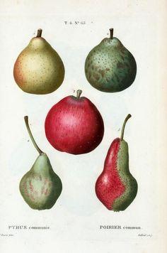 Pears. . .Pierre Joseph Redouté / Ripe and Unripe Pears / 18th century