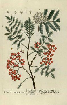 "Sorbus torminalis, ""Herbarium Blackwellanium..."" Elisabeth Blackwell - Nüremberg 1757"