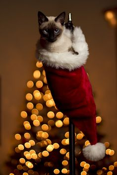 Christmas Kitty by Anthony Cain