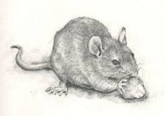 Image result for rat drawings