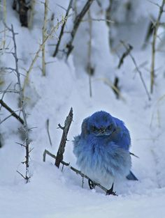 blue bird in snow
