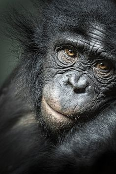 Unlike chimps, bonobos have never been observed killing one of their own kind.  Photo by icypics