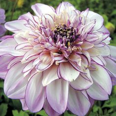 Brindisi Giant Powder Puff Dahlia  Add this one to collection next year.  J