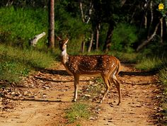 DidYouKnow - Chital Deer has a great sense of smell and they will notify their monkey friends if they get a whiff of a mean ol' bully approaching. This is why you will often see Langur's grazing on the ground around a group of Chital Deer as Langur's great eyesight help notify the deer if trouble is approaching. Isn't it nice when nature works together?