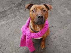 TO BE DESTROYED - 02/16/15 Manhattan Center   My name is GENEVIEVE. My Animal ID # is A1025605. I am a female br brindle pit bull mix. The shelter thinks I am about 2 YEARS old.  I came in the shelter as a STRAY on 01/16/2015 from NY 10469, owner surrender reason stated was STRAY. I came in with Group/Litter #K15-001336. **DOH RELEASED**