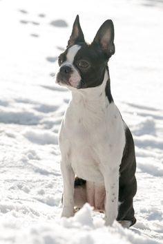 Boston terrier during winter by Agata Bednarska on 500px