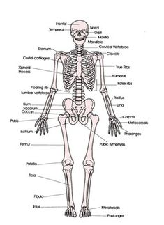 skeletal muscle diagram labeled new food pyramid system with letters big wiring schematic skeleton homeschool anatomy model in this assignment students color the various parts of