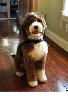 <<Learn more about cockapoo. Just click on the link for more info>> Our web images are a must see!!