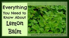 Everything You Need to Know About Lemon Balm on The Homestead Garden at http://www.thehomesteadgarden.com/lemon-balm/