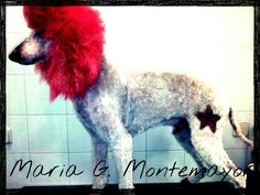 Caniche gigante extreme grooming