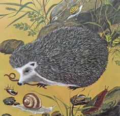 Vintage hedgehog illustration - artist unknown