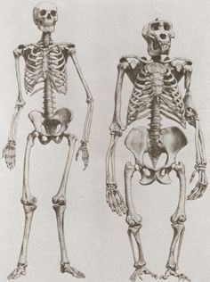 comparison between human and gorilla skeletons. (gorilla in non, Skeleton