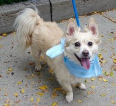 RTO SAFE ♡ CODY aka ANGEL – A0988761 ***RETURNED 09/24/16*** MALE, BROWN / WHITE, CHIHUAHUA LH MIX, 9 yrs OWNER SUR – EVALUATE, HOLD FOR ID Reason OWN EVICT Intake condition EXAM REQ Intake Date 09/24/2016, From NY 10463, DueOut Date 09/27/2016,