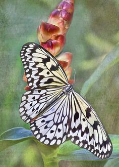 Rice Paper Butterfly by TN Fairey