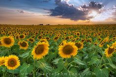 Texas Wildflower Images - Sunflower Field near Sunset by Rob Greebon - Photo 63872145 - Sunflower Images, Sunflower Photography, Building Art, Sunflower Fields, Texas Hill Country, Blue Bonnets, Nature Images, Trees To Plant, Beautiful Landscapes