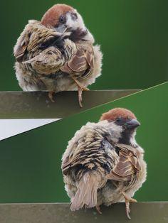 150715sスズメ,Sparrow,wild bird