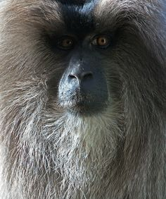 Lion-tailed Macaque (Macaca Silenus) Wanderoo, is an Old World Monkey endemic to Western Ghats of South India. http://www.flickr.com/photos/redundant_dna/5115501280/