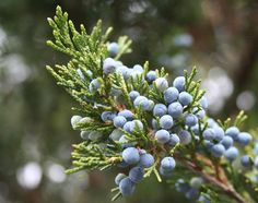 """Eastern Red Cedar – is a dense slow-growing evergreen ordinarily 16–66 ft. tall. Considered a pioneer of the forest, the red cedar is one of the first trees to repopulate cleared land. It is unusually long lived among pioneer species, with the potential to live over 850 years. Cedar waxwings (bluebirds and turkeys) are fond of the """"berries"""" or cones of this juniper species. Cedar wood is used for cedar chests, closets, pencils, and small carvings.  Genévrier rouge"""