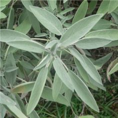 Sage Plant, Plant Leaves, Salvia Officinalis, Plantar, Herbalism, Health And Beauty, Health Fitness, Herbs, Alternative Health