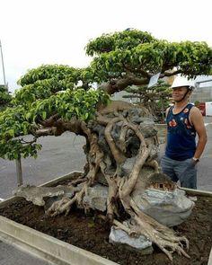 11 Best Trees For Bonsai Bonsai Ficus, Indoor Bonsai Tree, Bonsai Art, Bonsai Plants, Bonsai Garden, Bonsai Trees, Plantas Bonsai, Cool Plants, Live Plants