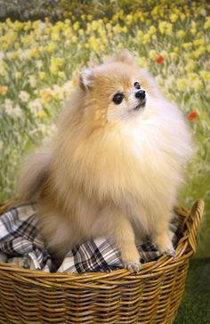 밍키 #포메라니안 #pomeranian #펫토그래피 #애견스튜디오 #반려견촬영 #강아지촬영 #반려견 #반려동물 #pet #petography #dog #doglover #lovepet # puppy #dogphotography #petogapher