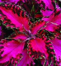 Hot-pink leaves with ruffled, variegated borders edged with a thin line of light green make Solenostemon 'Pink Chaos' look like an explosion of neon paisley. Grows 6 to 18 inches tall. Can be perennial in Zones 10 to 11, but elsewhere is an annual. Available from Garden Crossings, Proven Winners, and Sunny Borders Nurseries.