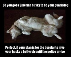 Siberian Husky Twist definitely not a proper guard dog position! - Funny Dog Quotes - Siberian Husky Twist definitely not a proper guard dog position! The post Siberian Husky Twist definitely not a proper guard dog position! appeared first on Gag Dad. Husky Humor, Husky Quotes, Funny Husky Meme, Dog Quotes Funny, Funny Dogs, Pet Quotes, Funny Pix, Silly Dogs, Funny Stuff