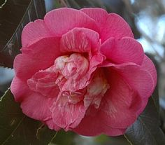 Camellia japonica 'Faith' (U.S., 1953)