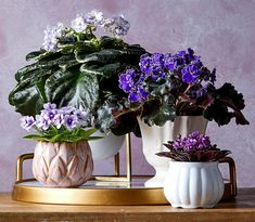 African violet - 11 Tropical Houseplants You Can Grow for Their Fabulous Flowers