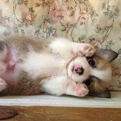 peek-a-boo!  Corgi pup
