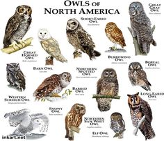 Owls of North America.....ROGER D HALL.....a scientific illustrator specializing in wildlife and architectural subjects....predominantly self-taught....works with pen and ink....artwork has appeared in numerous media (newspaper, books, website, etc)....a Minnesota native now based in Oakland, California....associated with several zoos and aquariums in the US