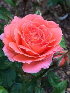 'Loretta Lynn' ~ Rose