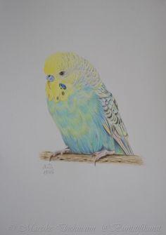 Budgie Speedy. Colored pencil drawing. Wellensittich. Zeichnung mit Buntstiften