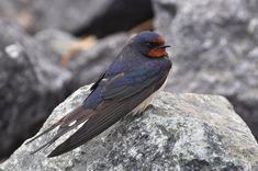 Há cerca de 70 espécies de aves estivais que todos os anos regressam a Portugal nos meses mais quentes do ano. Um projecto da Sociedade Portuguesa para o Estudo das Aves acompanha estas chegadas de…