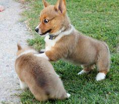 I  love corgis.......don't tell my beagle......