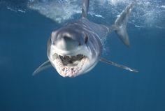 ¿Te fascinan los tiburones? ¿Crees que sobrevivirías a uno? A nosotros nos parecen unas criaturas que, aunque letales, son un auténtico tesoro de la naturaleza. Una joya realmente antigua que debemos temer y respetar a partes iguales.