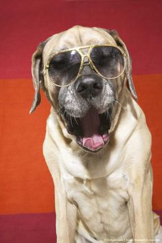 English mastiff dog wearing sunglasses (I wish this was ponce but its not... I do have a similar pic of him in shades though!)