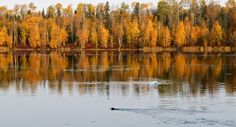 Swans and beaver at Hay Lake, north of Fort Liard Northwest Territories, Swans, North West, Mountains, Nature, Travel, Image, Naturaleza, Swan