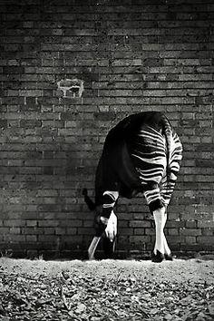 'Okapi' Photographic Print by Didi Bingham List Of Endangered Species, Okapi, Most Beautiful Animals, Zebras, Republic Of The Congo, Sell Your Art, Top Artists, Mammals, Art Prints