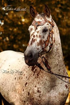 Stunning Appaloosa spots galore. What a pretty horse! tickled-fancy