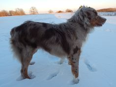 Australian Shepard, beautiful dog, puppy love