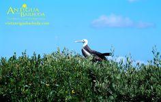Frigate Bird of #Beautiful #Barbuda #visitantiguabarbuda