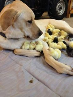 'Cheep cheep!' :) Yes! Labs are this awesome with chickens!!! Our girl Annie was an amazing farm friend and stood gently by my side - never harming a single animal. She was an awesome black labradorable!! (xo) *Labs: The right dog for chickens!