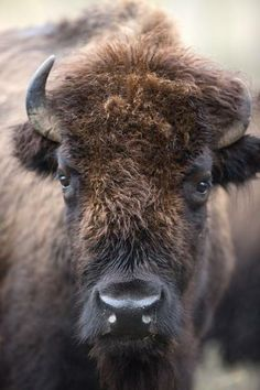 Fort Worth's bison herd marks 40 years at city's nature center