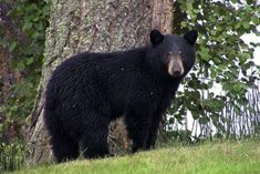 Permits will no longer be issued in Washington authorizing the inhumane killing of black bears. Support this victory and encourage the discontinuance of any such permits in the future.
