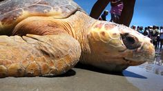 A sea turtle rescue center in North Carolina cares for and rehabilitates injured sea turtles, and returns them to the ocean amid cheering crowds. Sea turtles...