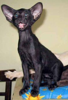 black oriental Cats