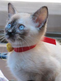 little siamese kitty