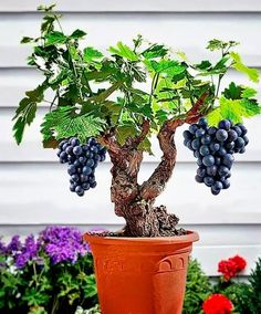 Amazing things in the world - Grape Bonsai. They grow very quickly, even in bonsai pots so styling is a bit of problem, but they are quite striking with clusters of edible berries on them. Trunks can be most interesting and very gnarly. Most grape vines have big leaves and their leaves do not dwarf well. To have a reasonable proportion for a bonsai there needs to be a relatively large and old massive trunk.